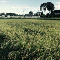 下野 渡辺農園~雑穀くらぶ~
